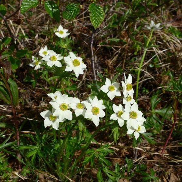 Tundra flower... anemone?